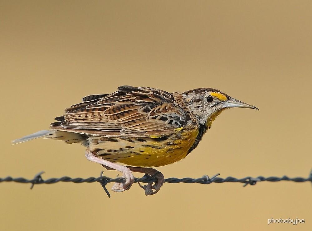Meadowlark by photosbyjoe