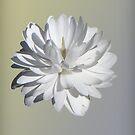 "Sanguinaria canadensis ""Multiplex"" by Irina777"