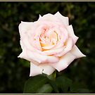 Pink & White Rose by Chris Cohen