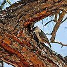 White-Breasted Nuthatch by K D Graves Photography