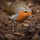 Robin Redbreast by Adam  Barstow
