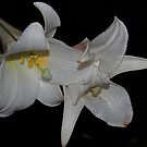Madonna Lily by Geoffrey Higges
