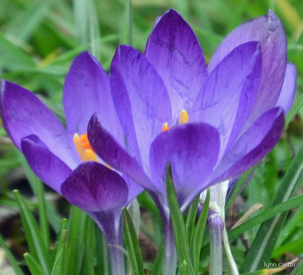 Purple Crocuses by lynn carter