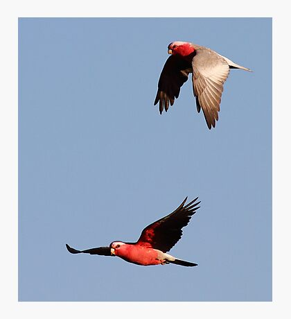 """A Couple of Galah's"" Photographic Print"