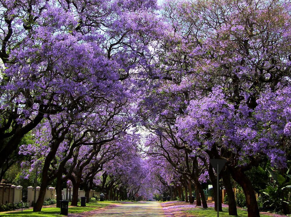 Jacarandas in bloom by Greg Parfitt