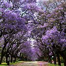 Jacarandas in bloom by Greg Parfitt