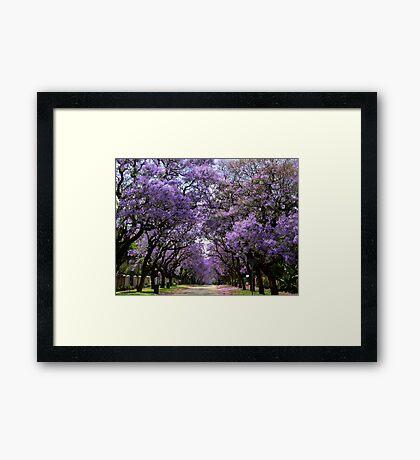 Jacarandas in bloom Framed Print