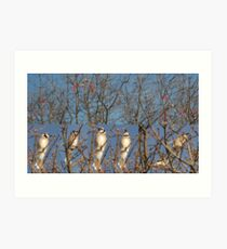 Blue Jays (Without the Blue) Art Print