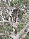 White-Bellied Sea-Eagle nest by Margaret  Hyde