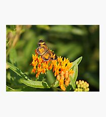 Pearl Crescent on Butterfly Weed Flowers 1 Photographic Print