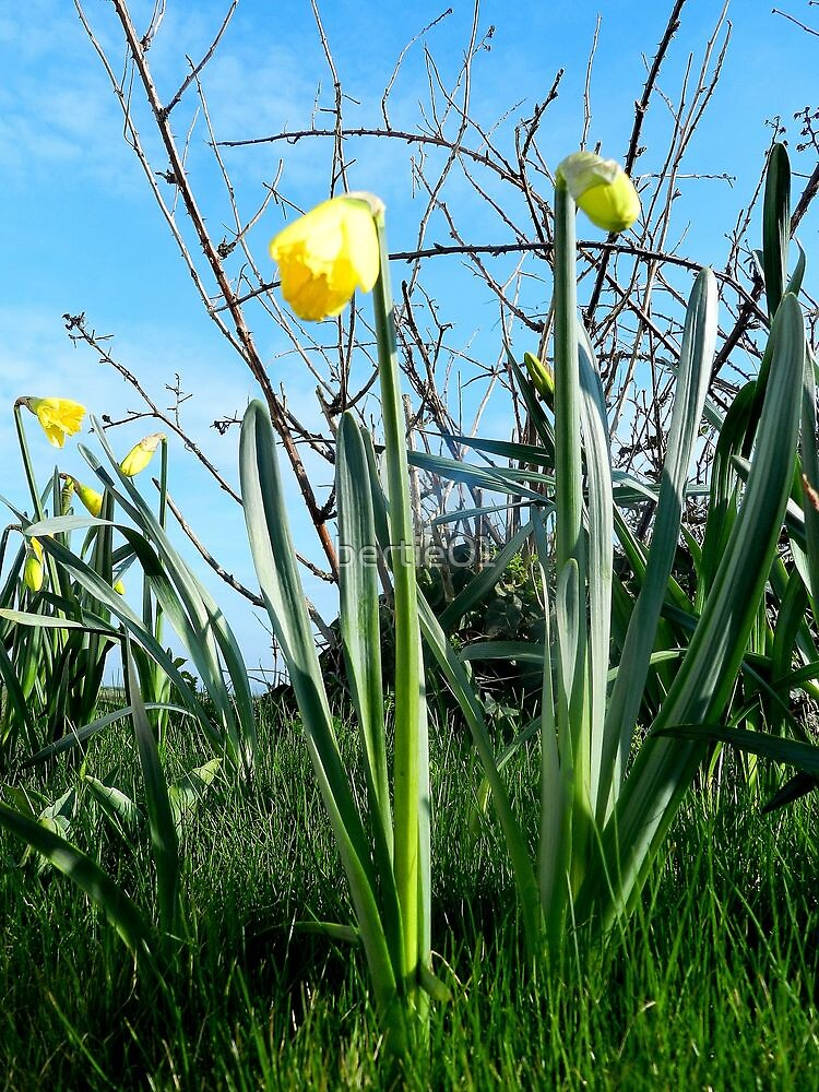 Daffodils, The first sign of Spring by bertie01