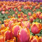 Tulip Festival Fine Art Prints Pink Orange Tulips Floral by BasleeArtPrints