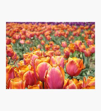 Tulip Festival Fine Art Prints Pink Orange Tulips Floral Photographic Print