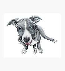Blue Pittbull Photographic Print