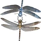 Double Dragonfly's with invert Micro photography  by Followthedon