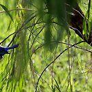 bluebird by chloemay