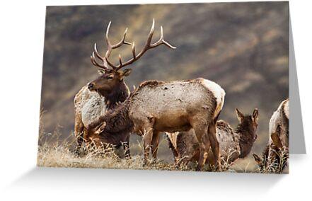 Elk Harem by Jim Stiles