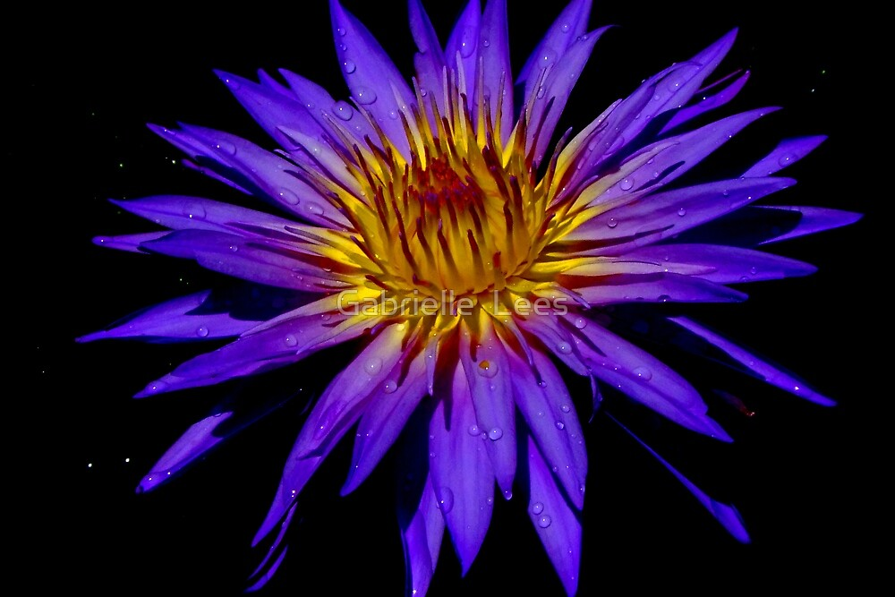 Water Lily - Nymphaea 'Blue Aster' by Gabrielle  Lees