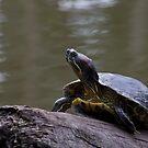 Sunbathing turtle by zzsuzsa