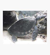 London Zoo/Reptile House/Turtle/(2 of 2) -(190212)- digital photo Photographic Print