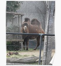 London Zoo/Camel (2 of 2) -(190212)- digital photo  Poster