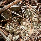 Pheasant Eggs by Robert C Richmond