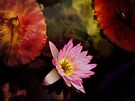 Pink Water Lily  by Elaine Manley