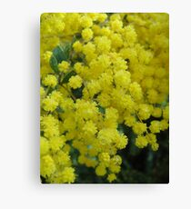 Wattle, Tasmania Canvas Print