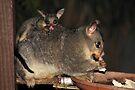 So Cute !! Brushtail Possum & Joey by Carole-Anne