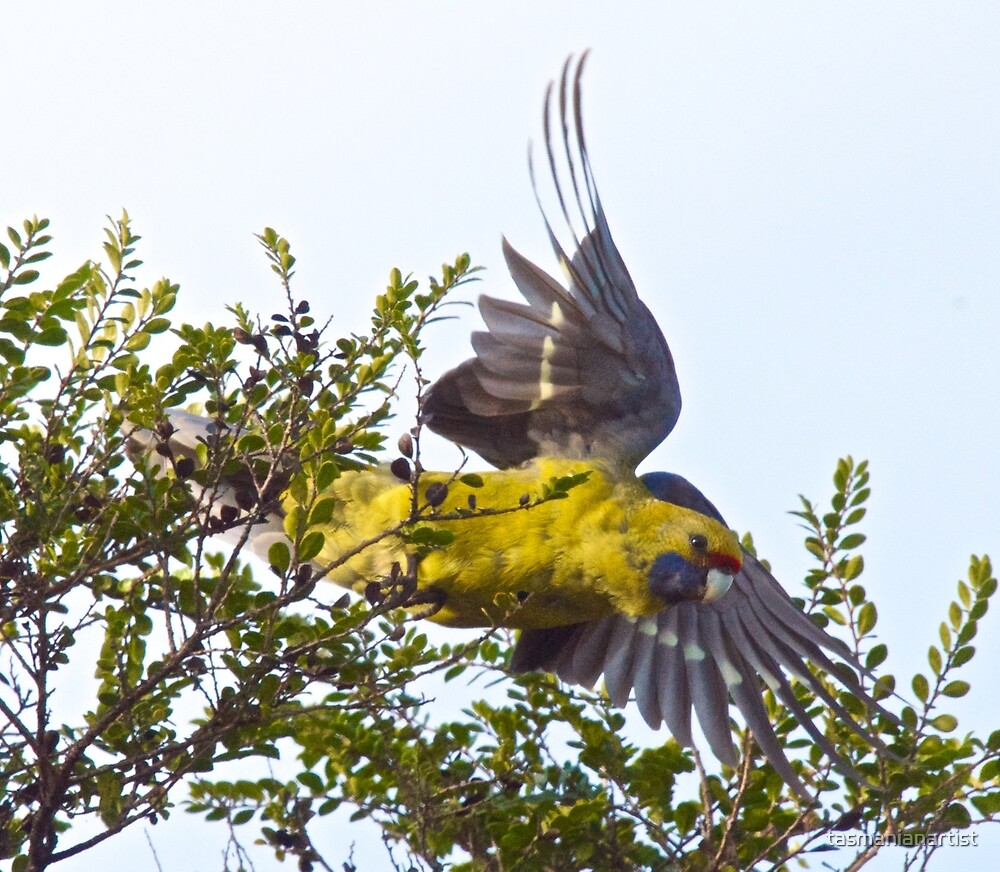 Green Rosella - up and away by tasmanianartist