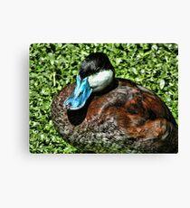 Blue Bill Duck Canvas Print