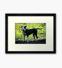 Pit Bull Pedigree Framed Print