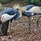Black Crowned Crane by AnnDixon