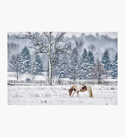 Winter grazing Photographic Print