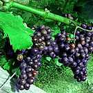 Rich Purple Grapes at Newport Vineyard, Newport RI by Jane Neill-Hancock