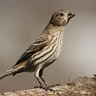 Female House Finch by Gregg Williams