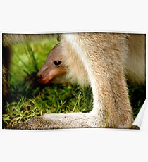 JOEY in mummy KANGAROOS pouch (wee skippy) Poster