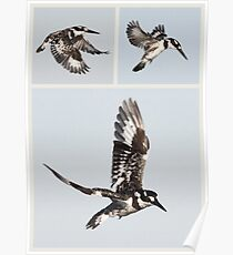 Pied Kingfisher Poster