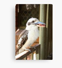 Kookaburra Eating. Canvas Print