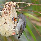 Mistletoebird II by helmutk
