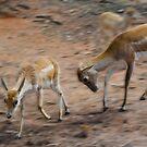 Deer fight! by vasu