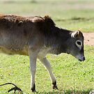 Calf by vasu