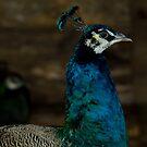 Peacock's neck by vasu