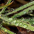 Morning Dew by Radeon12345