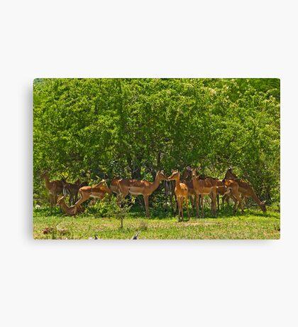 Impala herd Canvas Print