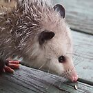 Opossum by Alice Kahn
