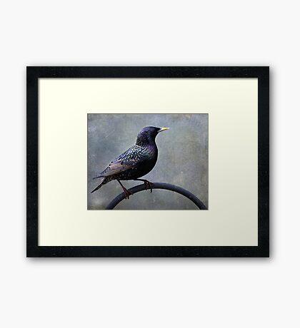 European Starling ~ Framed Print