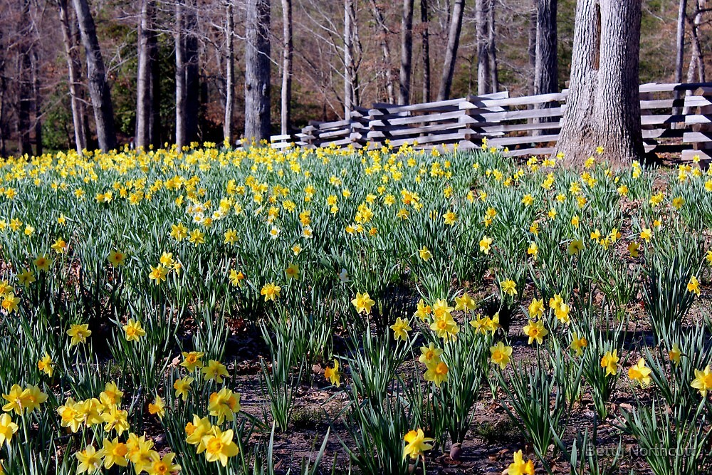 Hills Of Daffodils by Betty Northcutt