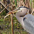 Great Heron With Dinner Closeup by Kathy Baccari