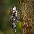 White-throated Tree Creeper by Barb Leopold